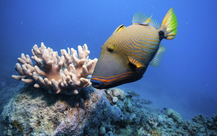 An orange-lined triggerfish surveys the Great Barrier Reef