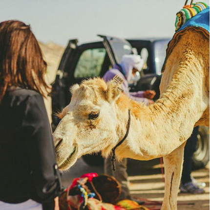Camel in Western Sahara Desert