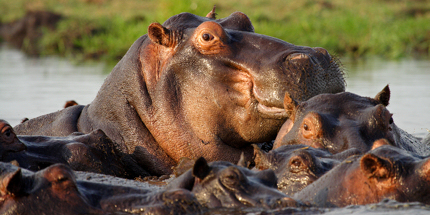 Wallowing hippos