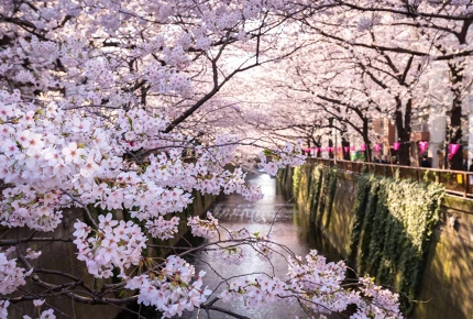 Walk the length of the Meguro Canal and enjoy the cherry blossom.