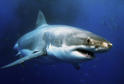 Get up close and personal with great whites this June