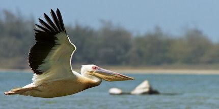 Senegal pelican