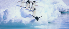 Adelie penguins of Antarctica