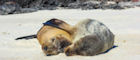 Sea lions cuddle on a Galapagos beach