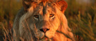 See lions on the Garden Route