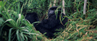 Rwanda has one of the world's largest gorilla populations