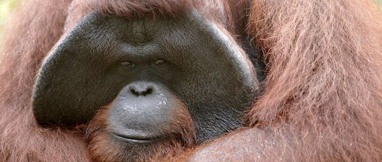 Borneo's