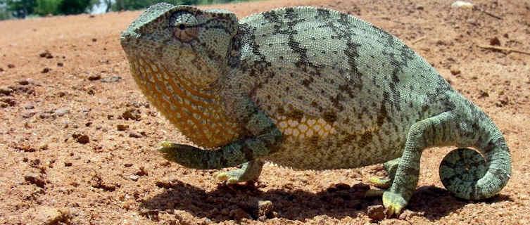 Chameleon,