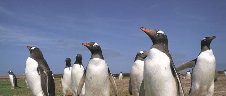 Penguins in the Falkland Islands