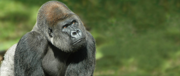 Rare mountain gorillas, Congo