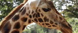 Giraffe, Nairobi