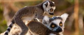 Lemurs in Madagascar