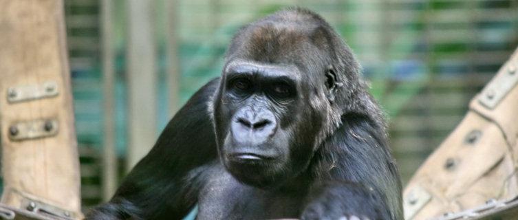 Western Lowland Gorilla, Equatorial Guinea