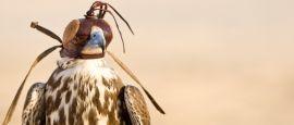 Hooded falcon, Qatar